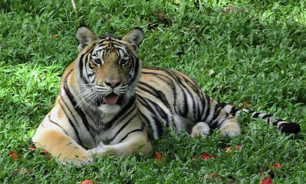 Photograph - Orange Tiger by Pamela Walton