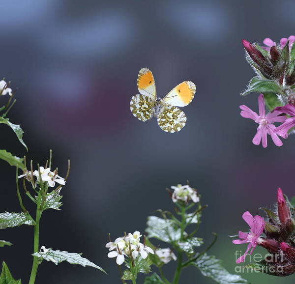 Photograph - Orange Tip Butterfly by Warren Photographic