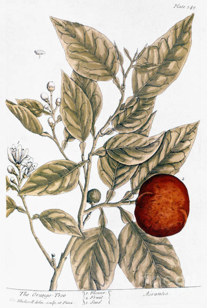Photograph - Orange Tree, 1735 by Granger