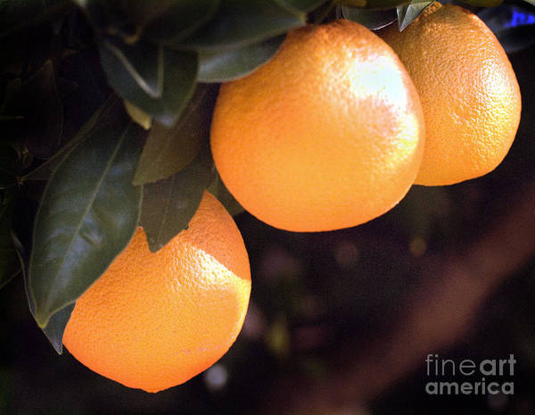 Photograph - Orange Trio by Norman Andrus