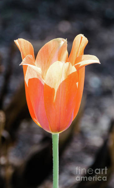 Photograph - Orange Tulip by Andrea Anderegg