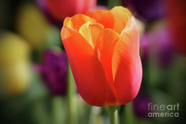 Photograph - Orange Tulip Solo by Karen Adams