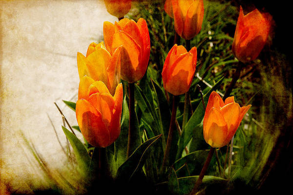 Photograph - Orange Tulips by Milena Ilieva