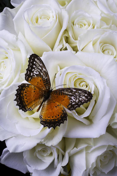 Orange Rose Photograph - Orange Winged Butterfly On White Roses by Garry Gay