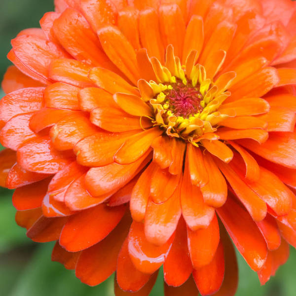 Zinnia Wall Art - Photograph - Orange Zinnia After A Rain by Jim Hughes