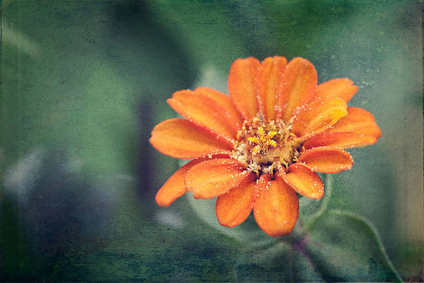 Photograph - Orange Zinnia by Christopher Meade