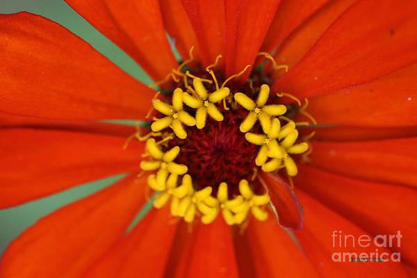 Pistil Painting - Orange Zinnia Flower by Corey Ford
