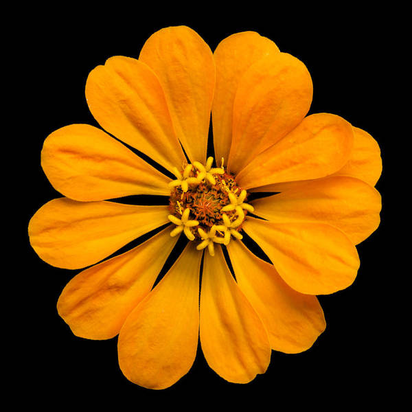 Zinnia Wall Art - Photograph - Orange Zinnia by Jim Hughes