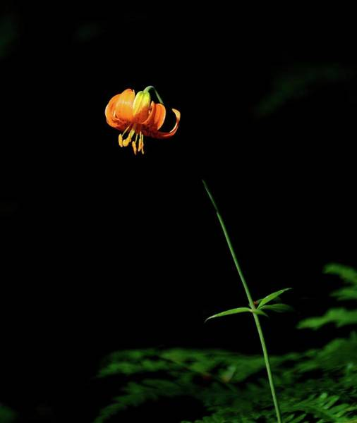 Tigerlily Wall Art - Photograph - Tigerlily by Cher Rydberg