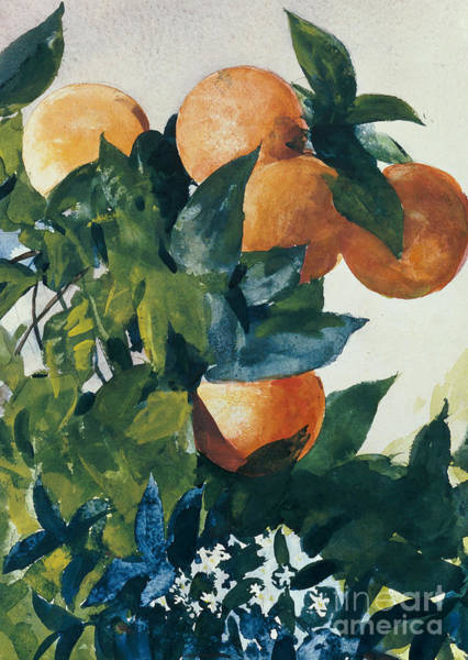 Fruit Trees Wall Art - Painting - Oranges On A Branch by Winslow Homer