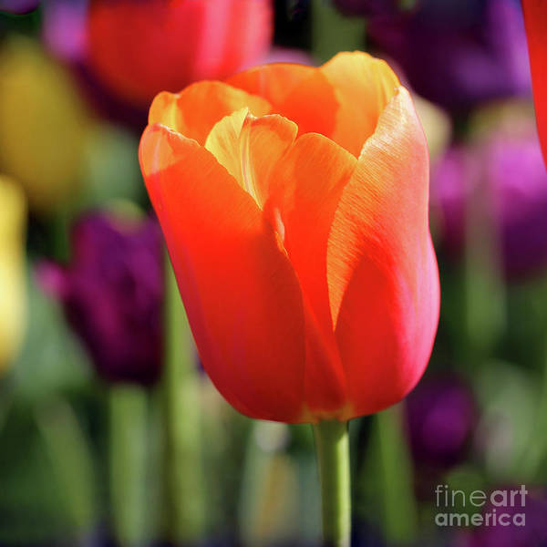 Photograph - Orange Tulip Square by Karen Adams