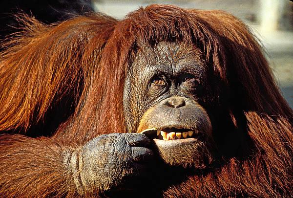 Orangutan Photograph - Orangutan  by Garry Gay