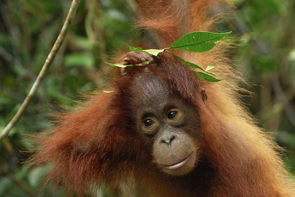 Photograph - Orangutan Pongo Pygmaeus Baby, Camp by Thomas Marent