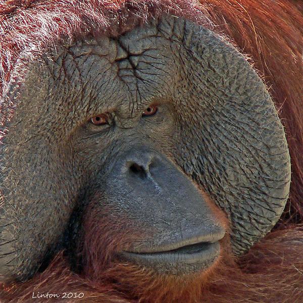 Photograph - Orangutan Portrait by Larry Linton