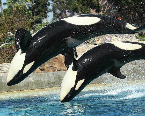 Living Things Photograph - Orca Backflips by Derrick Neill
