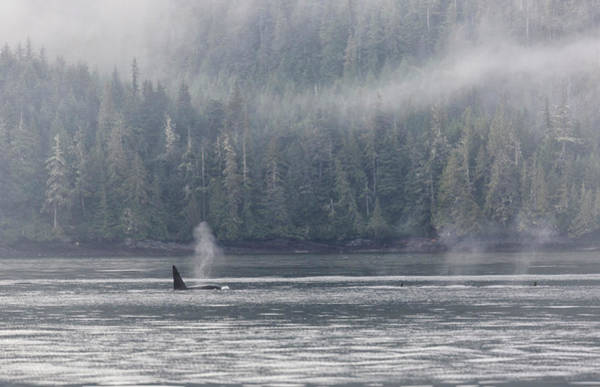 Photograph - Orca Male Into The Mist by Randy Hall