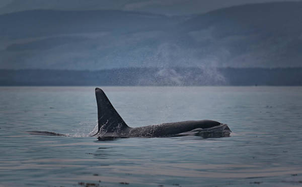 Photograph - Orca Male by Randy Hall