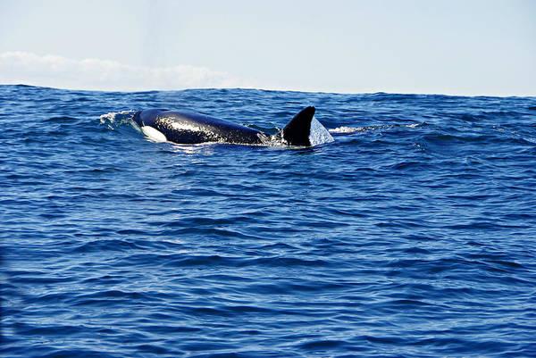 Orca Art Print