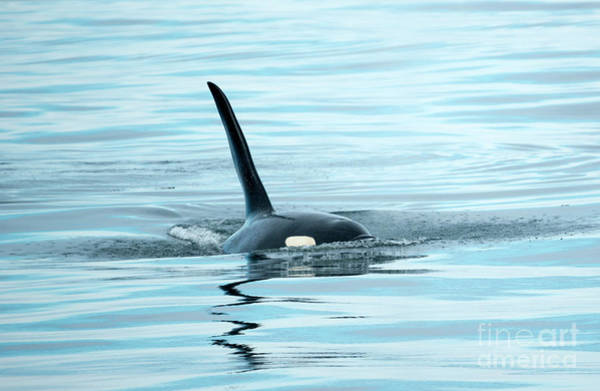 Killer Whales Wall Art - Photograph - Orca Reflections by Mike Dawson
