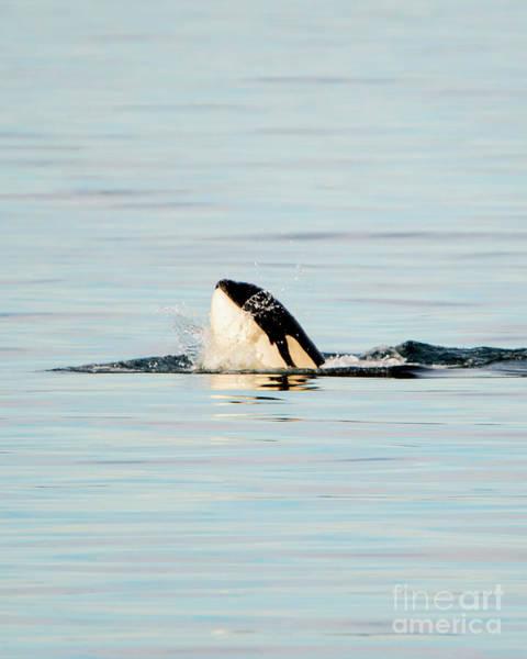 Killer Whales Wall Art - Photograph - Orca Spy Hop Splash by Mike Dawson