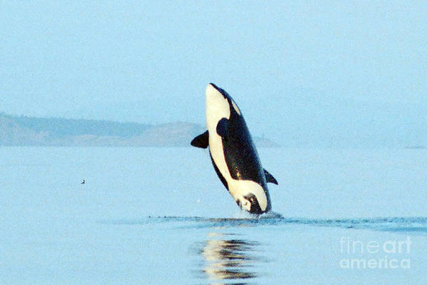 Blackfish Wall Art - Photograph - Orca West Side Of San Juan Island  1986 by California Views Archives Mr Pat Hathaway Archives