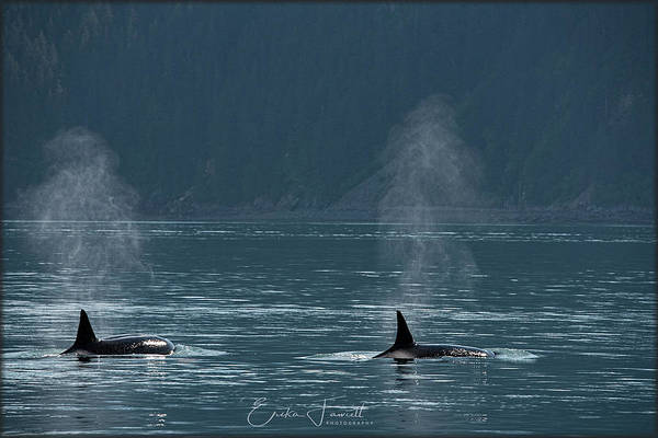 Photograph - Orcas In Resurrection Bay by Erika Fawcett