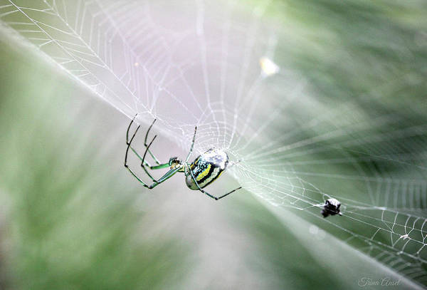 Photograph - Orchard Orbweaver Spider  by Trina Ansel