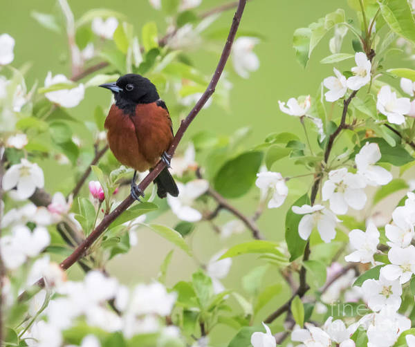 Photograph - Orchard Oriole In The Backyard by Ricky L Jones