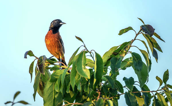 Photograph - Orchard Oriole Songbird Perched On A Bush by Patrick Wolf
