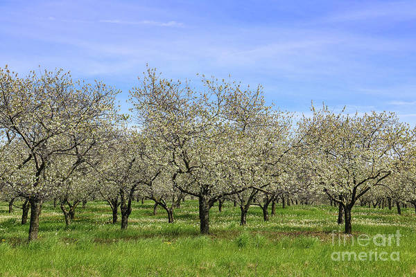 Photograph - Orchards Of Traverse City by Rachel Cohen