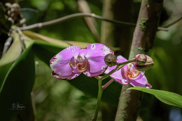 Photograph - Orchid 1 by Jim Thompson