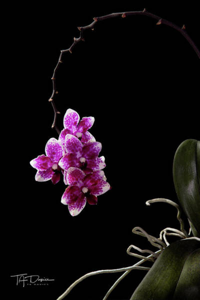 Photograph - Orchid 1 by T A Davies