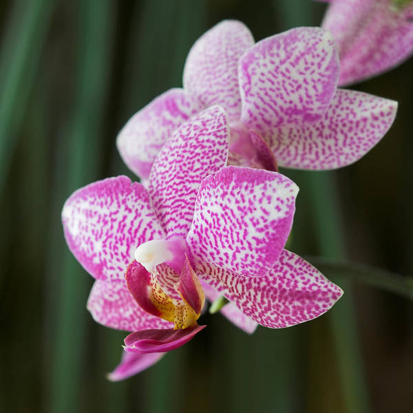 Photograph - Orchid 20 by Pierre Leclerc Photography