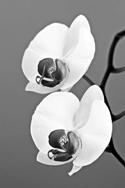 Wall Art - Photograph - orchid-4- St Lucia by Chester Williams