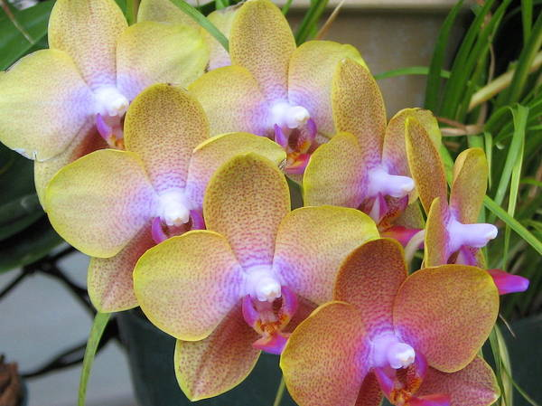 Photograph - Orchid 7 by David Dunham