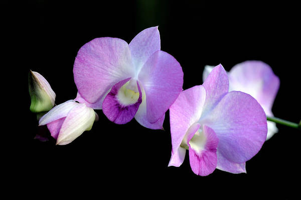 Wall Art - Photograph - Orchid Against Black Water 2 by Don Schroder