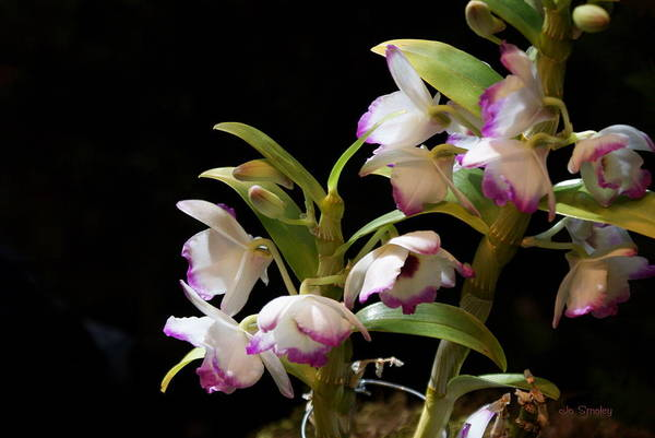 Photograph - Orchid Blooms by Joanne Smoley