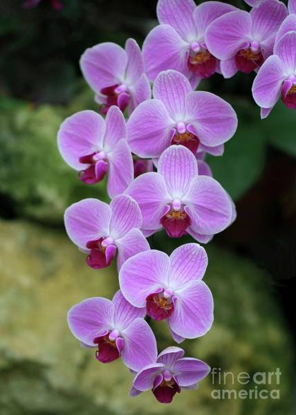 Photograph - Orchid Cascade by Sabrina L Ryan