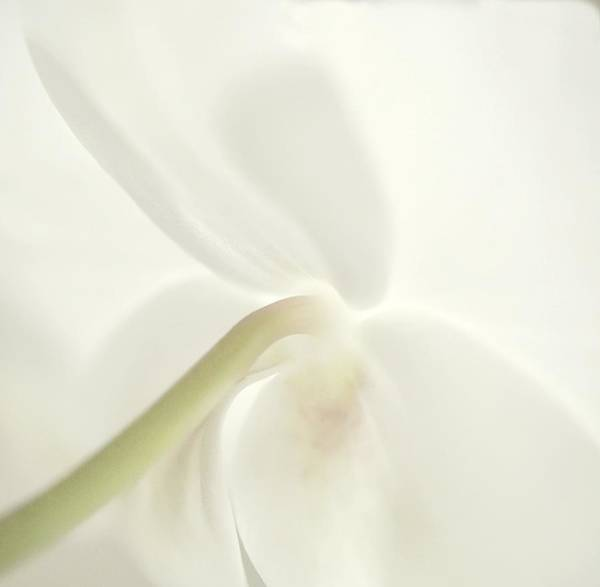 Photograph - Orchid, Dreaming by Phyllis Meinke