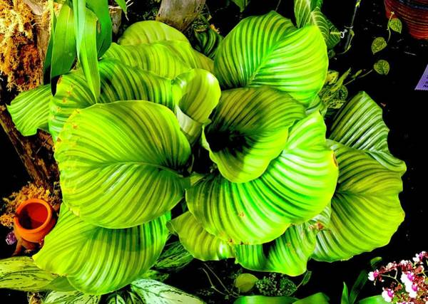 Photograph - Orchid Green Aloha  by Joalene Young