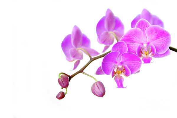 Blume Wall Art - Photograph - Orchid by Hannes Cmarits