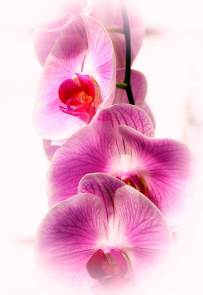 Photograph - Orchid Hd by Michael Hope