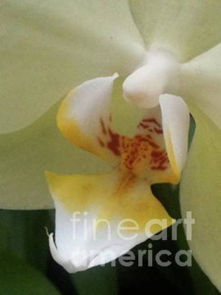 Photograph - Orchid Heart by Mary Kobet