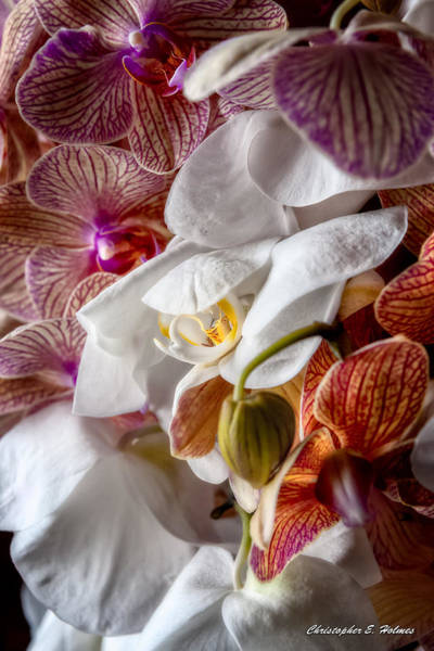 Photograph - Orchid Iv by Christopher Holmes