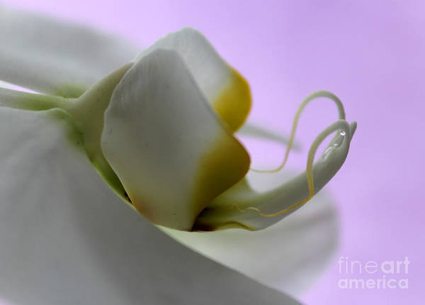 Sophisticated Photograph - Orchid Of Calm by Krissy Katsimbras