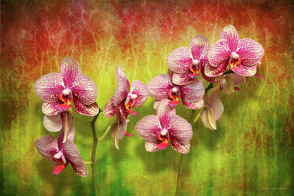 Photograph - Orchid - Phalaenopsis - Simply A Delight by Mike Savad