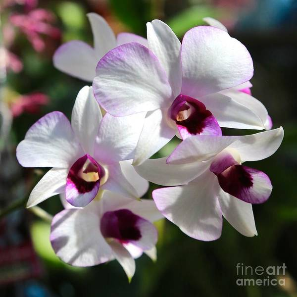 Photograph - Orchid Square 2 by Carol Groenen