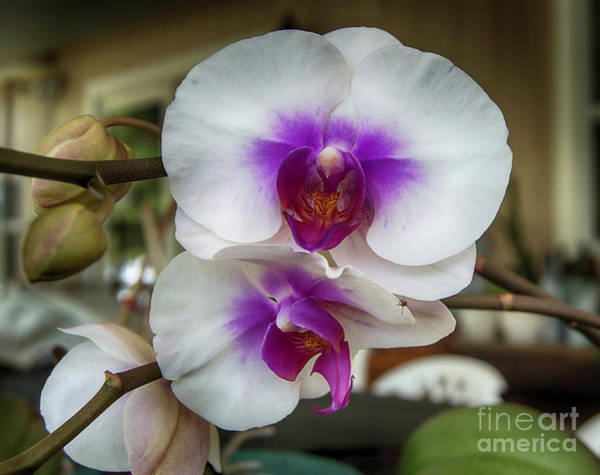 Photograph - Orchid Stems by Judy Hall-Folde
