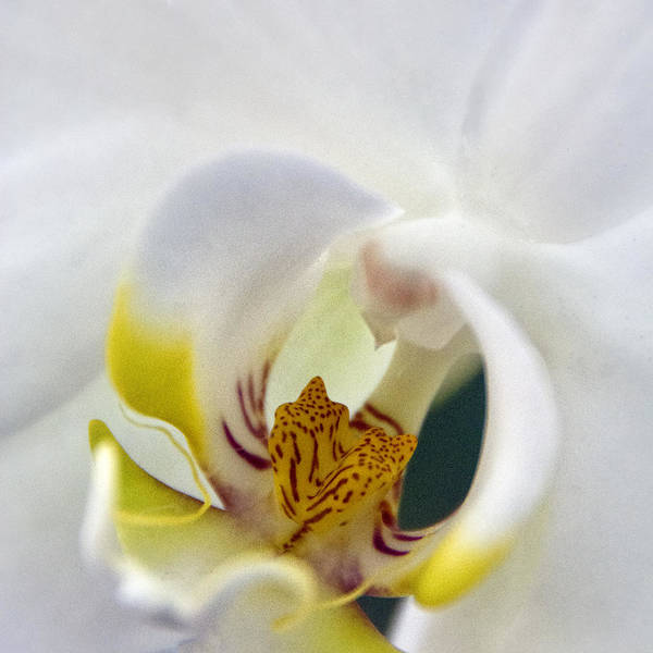 Smithsonian Photograph - Orchid White by Robert Fawcett
