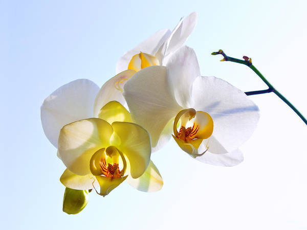 Photograph - Orchid With Sky Background by Victor Kovchin